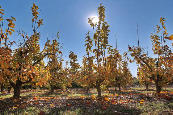 Un campo de caquis a punto de perder las hojas. / MÒNICA TORRES